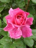 Rosa uteplatsrosblomma på en regnig dag Arkivbilder