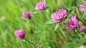 Rosa växt av släktet Trifolium blommar i den soliga sommardagen arkivfilmer
