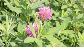Rosa växt av släktet Trifolium för äng i droppar av dagg arkivfilmer