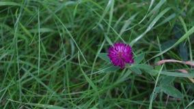Rosa växt av släktet Trifolium för lös blomma bland grönt gräs på sommardagen lager videofilmer