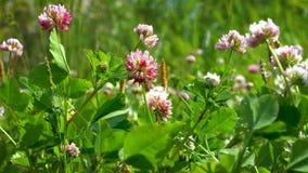 Rosa växt av släktet Trifoliumblommor svänger bland det gröna gräset i en ljus vind på en klar solig dag arkivfilmer