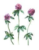 Rosa växt av släktet Trifoliumtrefoil för äng Arkivbild