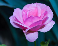 Rosa växt för rosa chinensis vårblomma Arkivbild