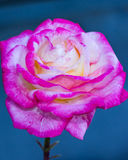 Rosa växt för rosa chinensis vårblomma Royaltyfria Bilder