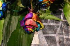 Rosa växt, mångfärgad blomma av Holambra Brasilien arkivfoto