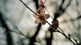 Rosa vårträd i blomblomma i solskenet arkivfilmer