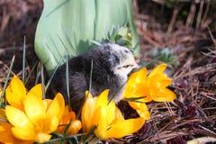 Rosa V fågelunge med krokusar Royaltyfri Foto