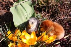 Rosa V och Messa fågelungar med krokusar Royaltyfria Foton