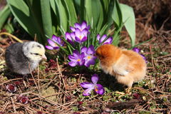 Rosa V och Messa fågelungar med krokusar Royaltyfria Bilder