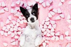 Rosa valentin för hundförälskelse royaltyfri foto