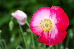 Rosa vallmo Arkivbild