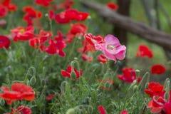 Rosa vallmo i ett fält av röda vallmo royaltyfria bilder