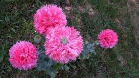 Rosa vallmoblommapapaver - somniferum arkivfoton