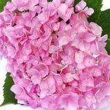 Rosa vanlig hortensia Royaltyfri Bild