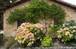 Rosa vanlig hortensia royaltyfri fotografi