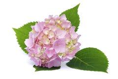 Rosa vanlig hortensia Arkivfoton