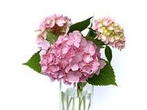 Rosa vanlig hortensia Royaltyfria Bilder
