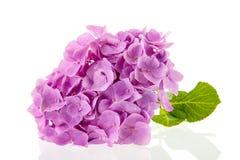 Rosa vanlig hortensia Royaltyfria Foton