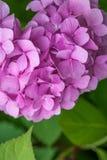 Rosa vanlig hortensia f?r n?rbild i tr?dg?rden arkivbild