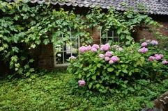 Rosa vanlig hortensia framme av det gamla huset Arkivbilder