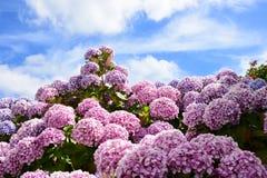 Rosa vanlig hortensia i Brittany, slut upp Arkivfoton