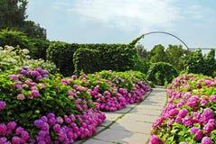 Rosa vanlig hortensia i den Kiev botaniska trädgården Arkivbilder