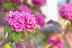 Rosa vanlig hortensia som på våren blommar Royaltyfri Foto
