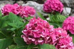 Rosa vanlig hortensiablommor Royaltyfria Bilder