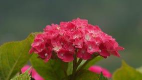Rosa vanlig hortensiacloseup royaltyfri bild