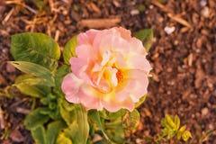 Rosa Variegated do rosa e do amarelo Fotografia de Stock