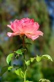 Rosa variopinta nell'asta completa Fotografia Stock Libera da Diritti