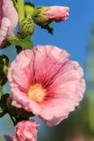 Rosa variopinto del fiore della malvarosa Fotografia Stock