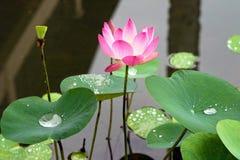rosa vatten för blomma lilly Royaltyfri Foto