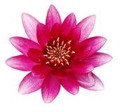 rosa vatten för lilja Arkivfoto