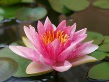 rosa vatten för lilja Royaltyfri Fotografi