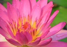 rosa vatten för lilja Arkivbilder