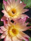 rosa vatten för lilja Arkivfoton