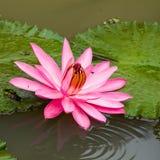 rosa vatten för lilja Fotografering för Bildbyråer