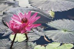 rosa vatten för lilja Royaltyfri Foto