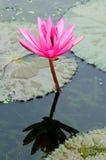 rosa vatten för lilja Royaltyfria Bilder