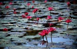 rosa vatten för liljar Arkivbilder