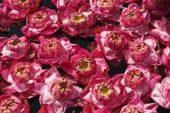 rosa vatten för liljar Arkivfoton