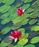 rosa vatten för lillies Royaltyfria Bilder