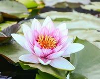 rosa vatten för lilja Royaltyfria Foton
