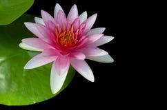 Rosa vatten--Lilly eller Lotus bloomin över svart bakgrund Arkivfoto