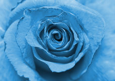 rosa velha do azul Fotografia de Stock