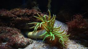 Rosa verde colorido de la anémona de mar fotografía de archivo