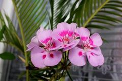 Rosa Vergnügen der Pelargonie an der Natur neu Lizenzfreies Stockbild