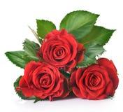 Rosa vermelha foto de stock