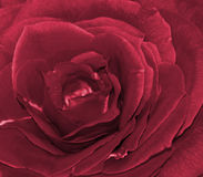 Rosa vermelha Fotos de Stock Royalty Free